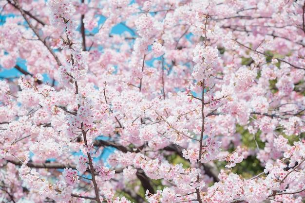 Sakura, fleur de cerisier rose au japon au printemps.
