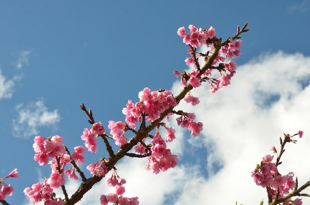 Sakura fleur ou fleur de cerisier avec fond de belle nature