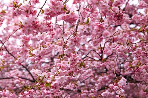 Sakura fleurit au printemps dans le parc (gros plan)