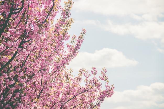 Sakura en fleurs dans le jardin botanique. mise au point sélective.