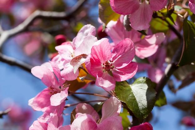 Sakura en gros plan de printemps, fleurs de cerisier roses au printemps, belles fleurs sur un arbre fruitier