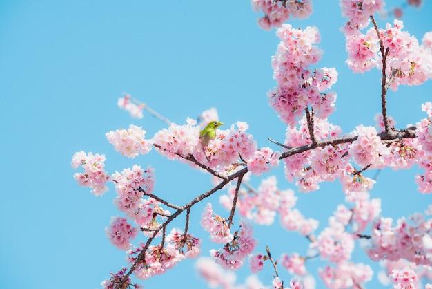 Sakura et oiseau, fleur de cerisier rose au japon au printemps.