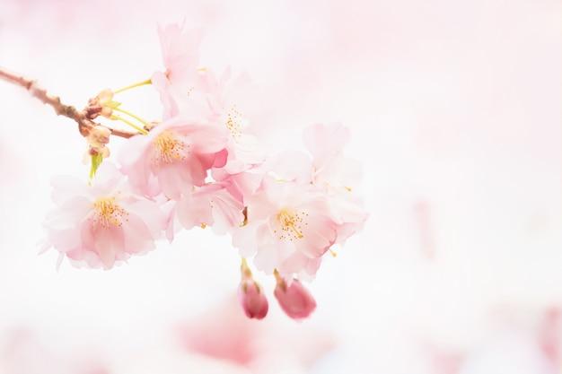 Sakura rose en fleurs au printemps branche de fleur de cerisier sur fond rose