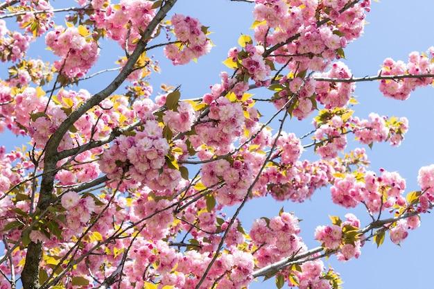 Sakura rose en fleurs. ciel bleu.