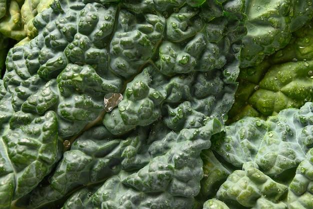Salade de chou frisé toscane populaire isolé sur fond blanc