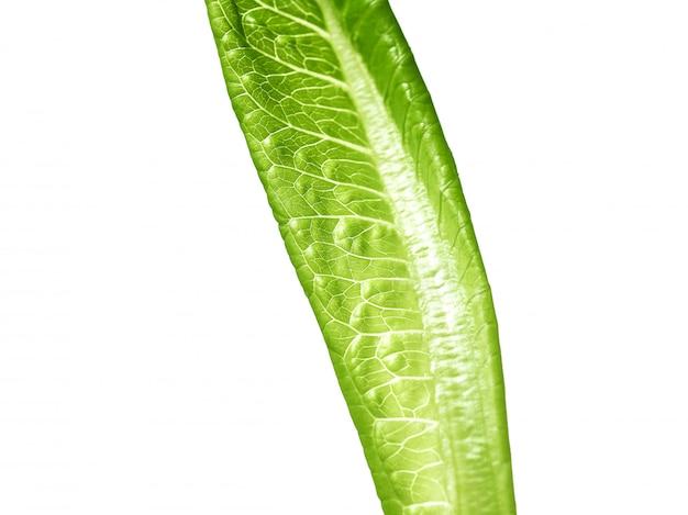 Salade de feuilles vertes de laitue isolé sur blanc