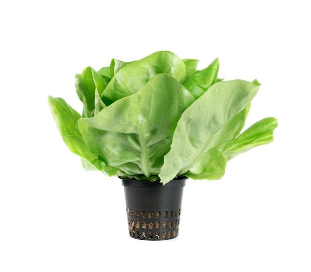 Salade de laitue boston ou butterhead isolé