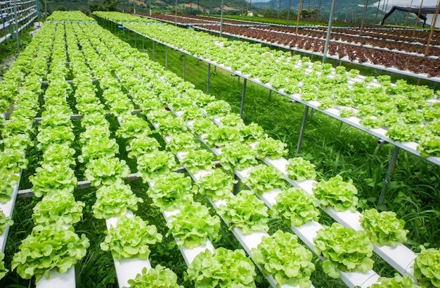 Salade de laitue de chêne vert légume dans les plantes du système de la ferme hydroponique sur l'eau