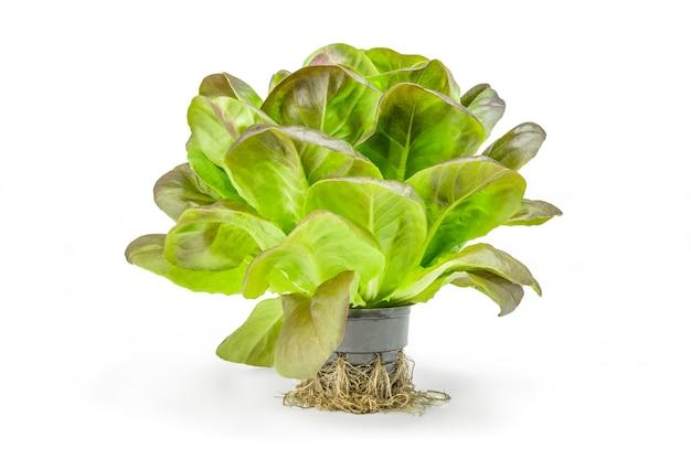 Salade de laitue unique bouchent isolé