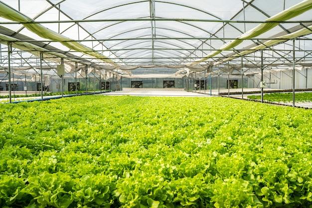 Salade de légumes verts biologiques d'une ferme maraîchère intérieure à température contrôlée.