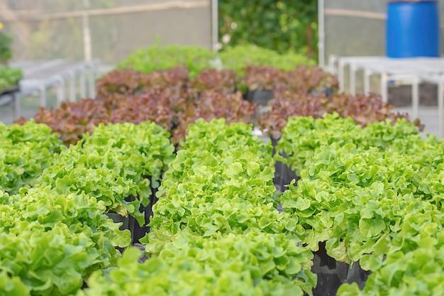 Salade verte de chêne et de chêne rouge dans la plantation en serre.