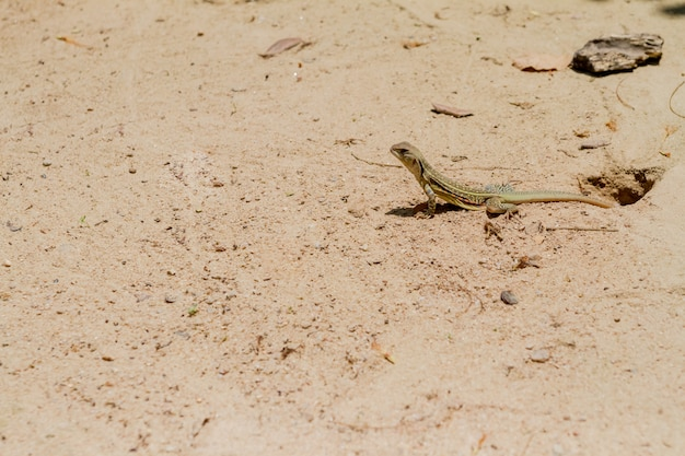 Salamandre se dresse fière