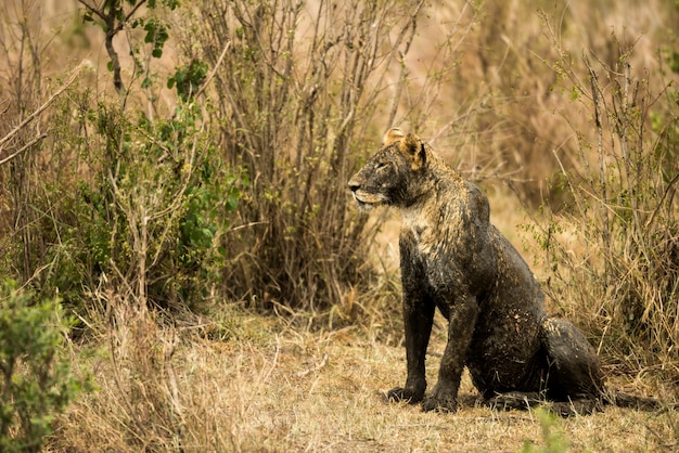 Sale lionne assise, serengeti, tanzanie, afrique