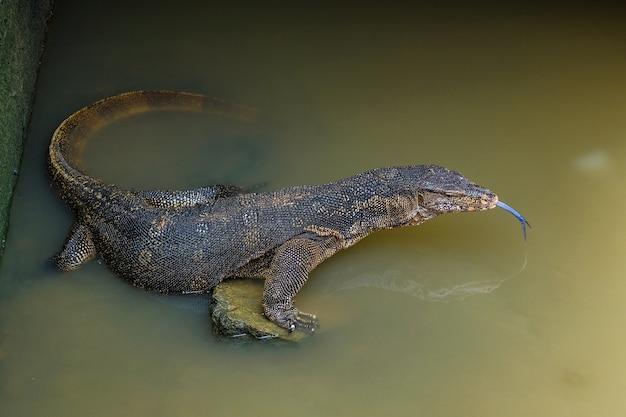 Salvatrice varanas ou moniteur d'eau asiatique en rivière.