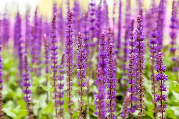 Salvia officinalis, sauge, aussi appelée sauge de jardin, ou sauge commune.