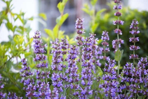 Salvia Pratensis, Prairie Sclarée Ou Prairie Sauge Pourpre Fleurs ...
