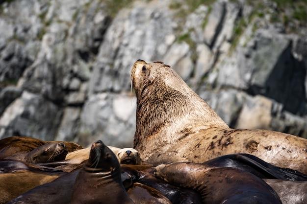 San diego, californie - usa. gros plan d'un lion de mer de californie (zalophus californianus) posant sur un rocher dans les récifs de la plage de la jolla