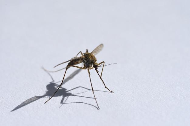 Sang d'insectes, moustiques