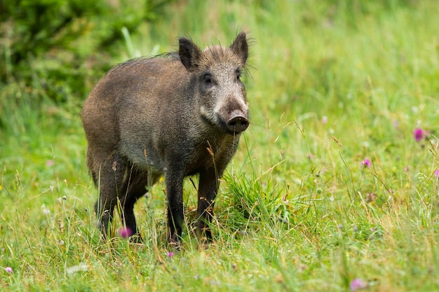 Sanglier adulte à la recherche sur l'herbe verte en été