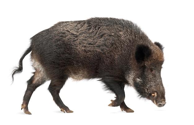 Le sanglier, aussi le cochon sauvage, sus scrofa, 15 ans, contre une surface blanche