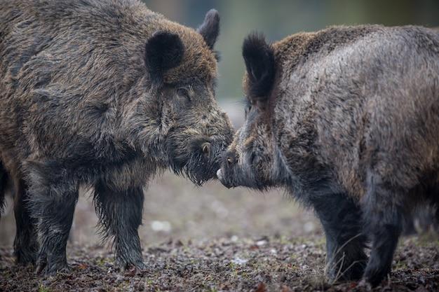 Sanglier dans l'habitat naturel animal dangereux dans la forêt république tchèque nature sus scrofa