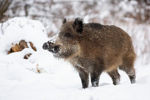 Sanglier debout sur la neige dans la nature hivernale.