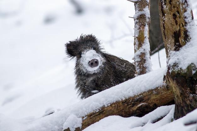 Sanglier en hiver furtivement avec de la neige sur le nez