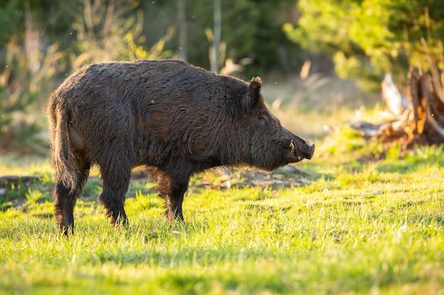 Sanglier mâle à côté sur une clairière ensoleillée dans les montagnes au printemps.