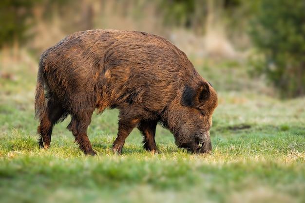 Sanglier mâle avec de longues dents se nourrissant d'herbe sur pré au printemps nature