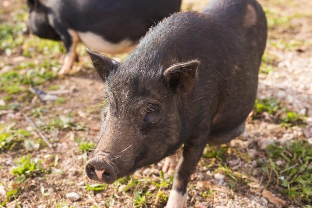 Sanglier noir ou cochon marchant sur le pré. faune dans son habitat naturel,