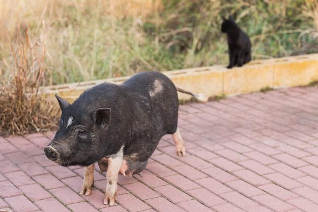 Sanglier noir ou cochon marchant sur le pré.