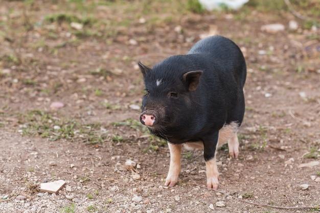 Sanglier noir ou porc. faune dans l'habitat naturel
