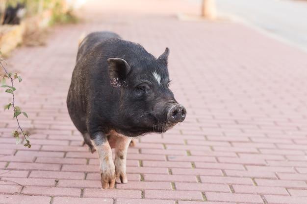 Le sanglier noir ou le porc se bouchent.