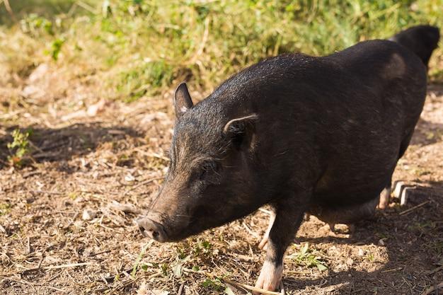 Sanglier noir ou porc.