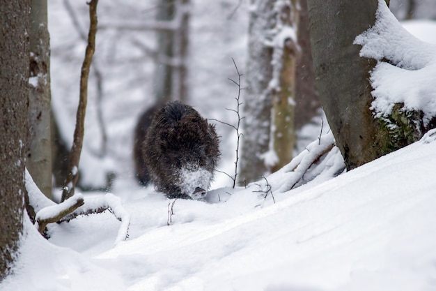 Sanglier qui traverse la forêt dans la neige profonde en hiver