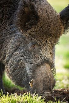 Le sanglier se nourrit de prairie dans la nature d'été en détail.
