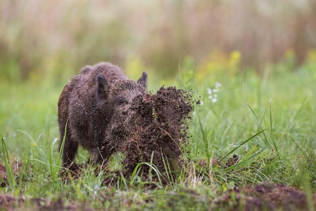 Sanglier, sus scrofa, creusant dans une prairie jetant de la boue avec son nez.