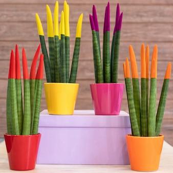 Sansevieria cylindrica peint plante serpent cylindrique droit dans les pots colorés