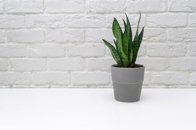 Sansevieria dans un pot gris.