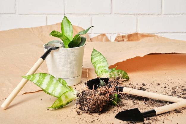 Sansevieria dans des pots blancs et un ensemble pour la transplantation et l'entretien des plantes sur du papier kraft, la transplantation de plantes d'intérieur, un fond de briques blanches
