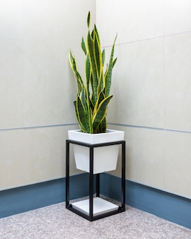Sansevieria, dracaena trifasciata, plante de serpent