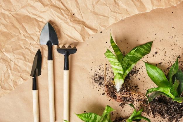 Sansevieria et outils de floriculture abor pelle, râteau, pelle, outil en métal avec poignée en bois sur fond de papier kraft vue de dessus