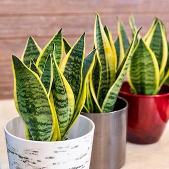Sansevieria trifasciata laurentii, plante serpent panachée dans le pot