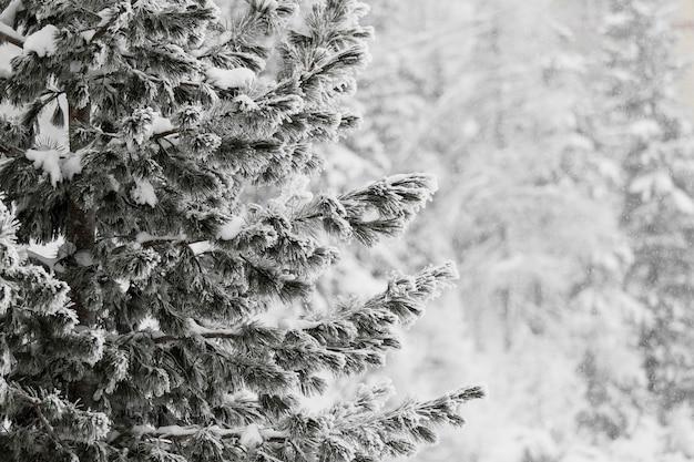 Sapin avec des branches givrées