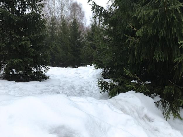 Sapin couvert de neige dans la forêt d'hiver en janvier