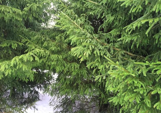 Sapin en forêt thème hiver photo de jardin enneigé et branches vertes sur neige blanche photo