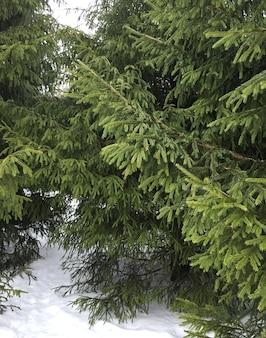 Sapin de neige dans la forêt thème d'hiver photo de jardin enneigé