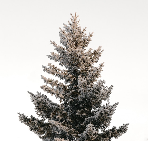 Sapin de noël d'hiver recouvert de neige isolé sur fond blanc. avec une douce lumière du soleil sur le dessus. grand arbre