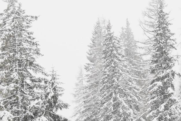 Sapins couverts de neige en forêt