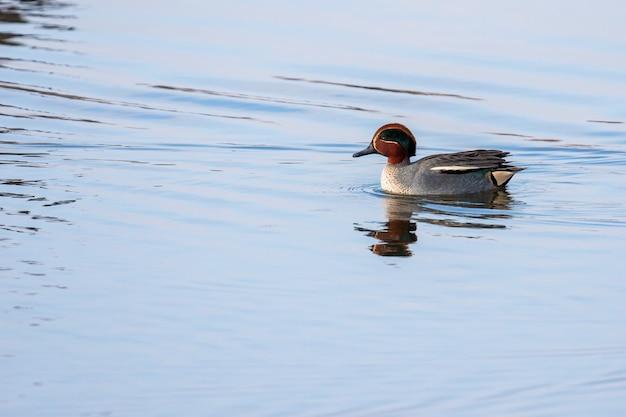 Sarcelle d'hiver (anas crecca) nageant sur un lac